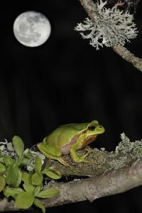European - Common Tree Frog (Hyla Arborea) Sitting on Branch Covered in Lichen at Night by Philippe Clément