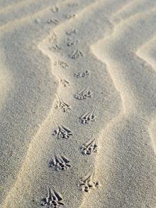 Mouse Footprints in the Sand of Dunes, Belgium by Philippe Clement