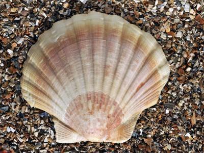 Scallop Shell on Beach, Normandy, France by Philippe Clement