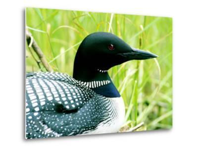 Common Loon on Nest, Quebec, Canada