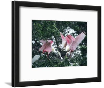 Roseate Spoonbills, Aggressive Behaviour, Texas, USA