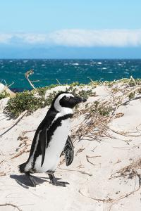 Awesome South Africa Collection - African Penguin at Boulders Beach XIV by Philippe Hugonnard
