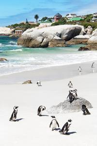 Awesome South Africa Collection - African Penguins at Boulders Beach IX by Philippe Hugonnard