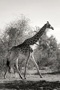 Awesome South Africa Collection B&W - African Giraffe by Philippe Hugonnard