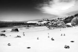 Awesome South Africa Collection B&W - African Penguins at Foxi Beach by Philippe Hugonnard