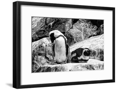 Awesome South Africa Collection B&W - African Penguins
