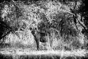 Awesome South Africa Collection B&W - Brown Hyena by Philippe Hugonnard