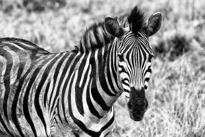 Awesome South Africa Collection B&W - Close-up of Burchell's Zebra II by Philippe Hugonnard