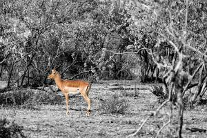 Awesome South Africa Collection B&W - Close-up of Impala by Philippe Hugonnard