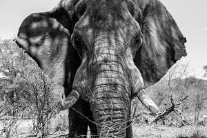 Awesome South Africa Collection B&W - Elephant Portrait VII by Philippe Hugonnard