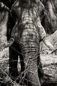Awesome South Africa Collection B&W - Elephant Portrait VIII by Philippe Hugonnard