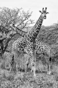 Awesome South Africa Collection B&W - Giraffe Mother and Young III by Philippe Hugonnard