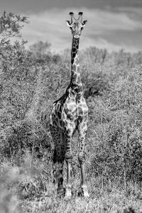 Awesome South Africa Collection B&W - Giraffe Portraits by Philippe Hugonnard