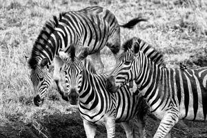 Awesome South Africa Collection B&W - Group of Common Zebras by Philippe Hugonnard