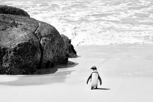 Awesome South Africa Collection B&W - Penguin at Boulders Beach II by Philippe Hugonnard