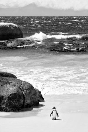 Awesome South Africa Collection B&W - Penguin at Boulders Beach