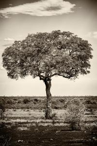 Awesome South Africa Collection B&W - Portrait of an Acacia Tree by Philippe Hugonnard