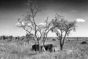 Awesome South Africa Collection B&W - Two White Rhinoceros IV by Philippe Hugonnard