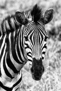 Awesome South Africa Collection B&W - Zebra Portrait II by Philippe Hugonnard