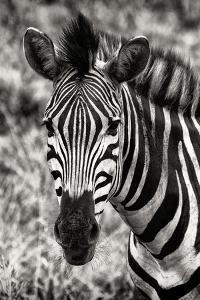 Awesome South Africa Collection B&W - Zebra Portrait by Philippe Hugonnard