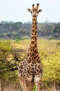 Awesome South Africa Collection - Giraffe Portrait by Philippe Hugonnard