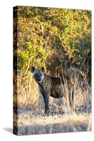 Awesome South Africa Collection - Hyena at Sunset II