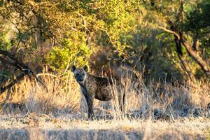 Awesome South Africa Collection - Hyena at Sunset by Philippe Hugonnard