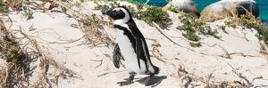 Awesome South Africa Collection Panoramic - African Penguin by Philippe Hugonnard