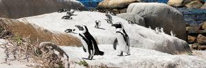 Awesome South Africa Collection Panoramic - Boulders Beach Penguins Colony III by Philippe Hugonnard