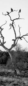 Awesome South Africa Collection Panoramic - Cape Vulture Tree II B&W by Philippe Hugonnard