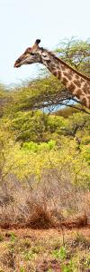 Awesome South Africa Collection Panoramic - Close-Up of Giraffe by Philippe Hugonnard