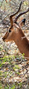 Awesome South Africa Collection Panoramic - Close-Up of Impala by Philippe Hugonnard