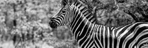Awesome South Africa Collection Panoramic - Close-Up of Zebra B&W by Philippe Hugonnard
