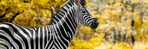 Awesome South Africa Collection Panoramic - Close-Up of Zebra with Yellow Savanna by Philippe Hugonnard