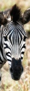 Awesome South Africa Collection Panoramic - Close-up Zebra Portrait III by Philippe Hugonnard