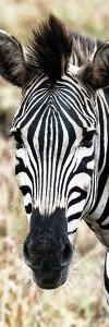 Awesome South Africa Collection Panoramic - Close-up Zebra Portrait by Philippe Hugonnard