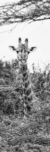 Awesome South Africa Collection Panoramic - Curious Giraffe II B&W by Philippe Hugonnard