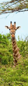 Awesome South Africa Collection Panoramic - Curious Giraffe II by Philippe Hugonnard