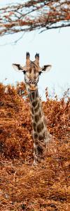 Awesome South Africa Collection Panoramic - Curious Giraffe with Red Savanna II by Philippe Hugonnard