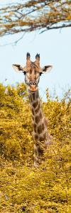 Awesome South Africa Collection Panoramic - Curious Giraffe with Yellow Savanna II by Philippe Hugonnard