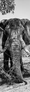 Awesome South Africa Collection Panoramic - Elephant Portrait B&W by Philippe Hugonnard