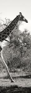 Awesome South Africa Collection Panoramic - Giraffe II by Philippe Hugonnard