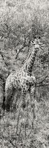 Awesome South Africa Collection Panoramic - Giraffe in Forest B&W by Philippe Hugonnard