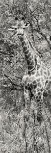 Awesome South Africa Collection Panoramic - Giraffe in Forest II B&W by Philippe Hugonnard