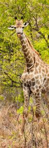 Awesome South Africa Collection Panoramic - Giraffe in Forest II by Philippe Hugonnard
