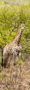 Awesome South Africa Collection Panoramic - Giraffe in Forest by Philippe Hugonnard