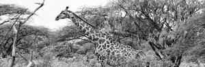 Awesome South Africa Collection Panoramic - Giraffe Kruger Park B&W by Philippe Hugonnard