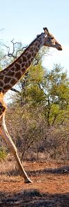 Awesome South Africa Collection Panoramic - Giraffe by Philippe Hugonnard