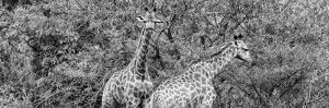 Awesome South Africa Collection Panoramic - Giraffes in Forest B&W by Philippe Hugonnard
