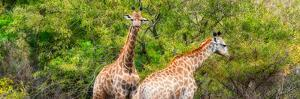 Awesome South Africa Collection Panoramic - Giraffes in Forest by Philippe Hugonnard